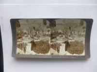 """Jerusalem through the Stereoscope"": Alter Oelbaum. Garten zu Gethsemane. Jerusalem"